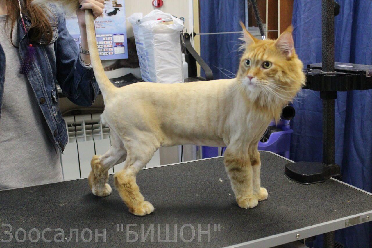 Стрижка лев у котов